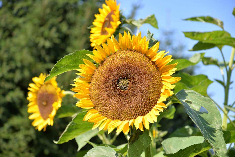 Altmärker Solarstrom GmbH (6) Sonnenblume
